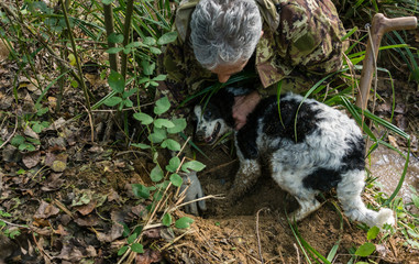 Man and his dog on black truffle hunt digging for the delicacy