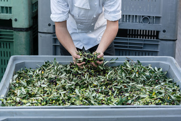 Chef checking quality of olives in olive oil factory, the fruit