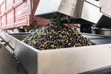 Olives being emptied into a washing machine at olive oil factory