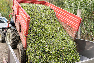 Olives being unloaded from a truck in storage of olive oil facto