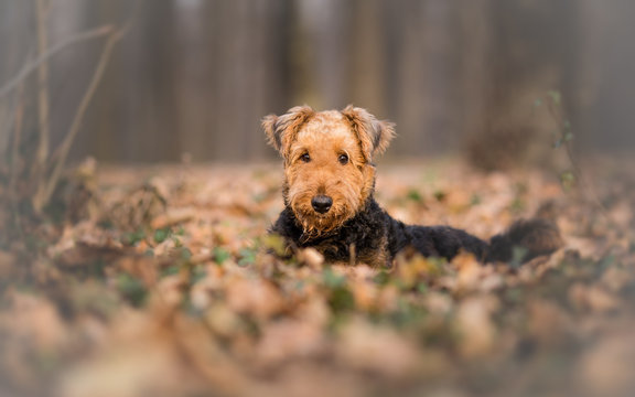 Airedale Terrier Dog in the forest portrait