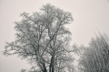 big winter tree, bare branches without leaves, covered with hoarfrost. Silhouette of a tree