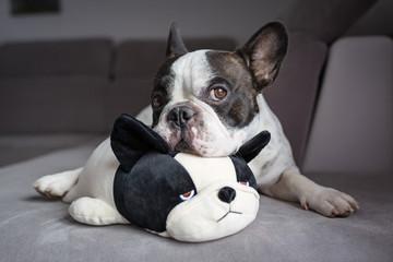 French bulldog lying with his teddy dog friend