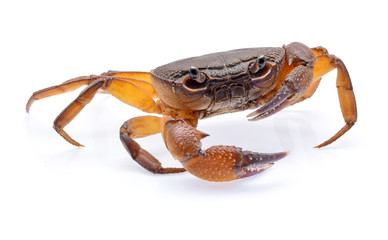 fiddler crab isolated on white background