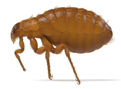 realistic 3d render of flea