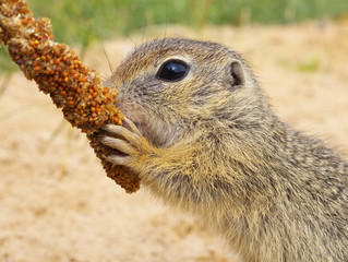 Eating Ground Squirrel