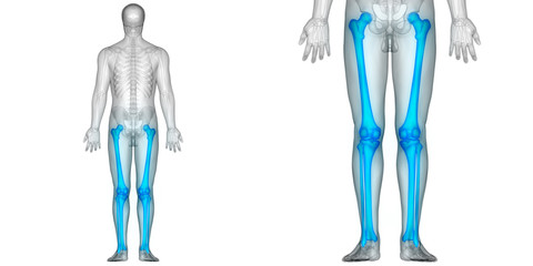 Human Body Bone Joint Pains (Leg joints and Bones Posterior view)