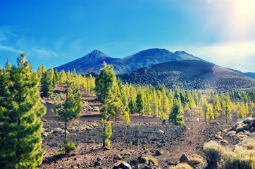 Volcano El Teide, Tenerife National Park. Pine forest on lava rocks in El Teide National park. Tenerife, Canary Islands, Spain.