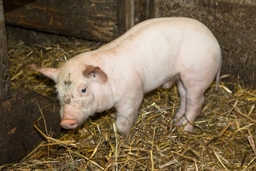 Four weeks old piglet in the barn