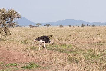 African male ostrich (Struthio camelus) goes on savanna plain. Serengeti National Park, Tanzania, Africa.