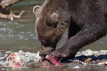bear eats  fish salmon close up