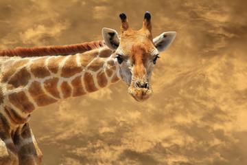 Giraffe - African Wildlife Background - Golden Bow in Nature