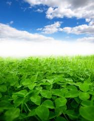 Wall Mural - green clover field