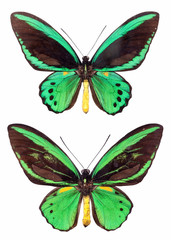 two papilio isolated