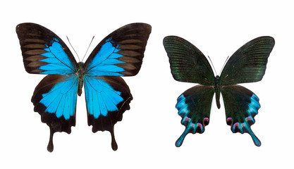 two butterfly isolated