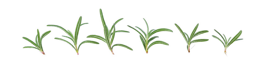 Young Rosemary isolated on a white background