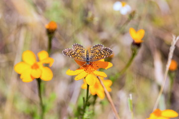 Elada Checkerspot butterfly Mexico. This insect is orange and brown and can be found in field of sunflowers flitting between one bloom to the next.