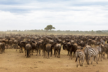 Canvas Prints Zebra Waiting for the crossing. Accumulation of ungulates on the shore. Mara river. Kenya, Africa