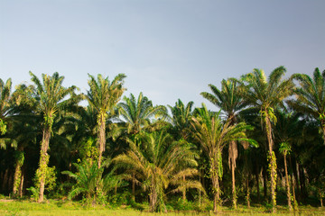 landscape of  palm garden , plantation