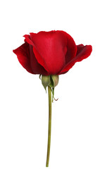 Red rose on isolated background
