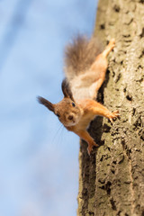 curious squirrel on a tree trunk