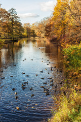 autumn landscape with a flock of ducks in the water