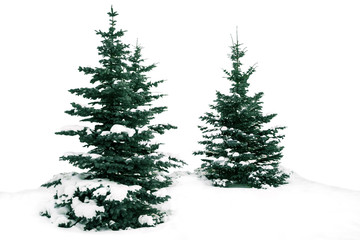Christmas trees snowy winter. The spruce tree. Beautiful green fir on a white background. The nature of New Year winter.