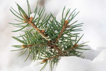 Spruce branch in snow forest