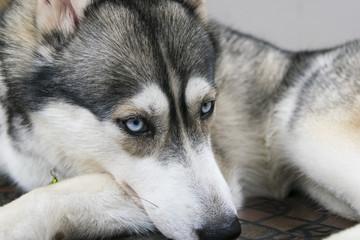 blue eye siberian husky dog