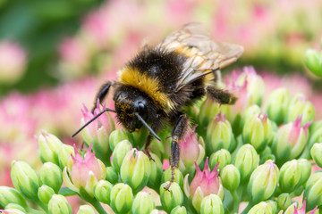a bumblebee sitting on pink flower
