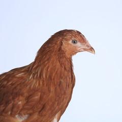 chicken-laying hens