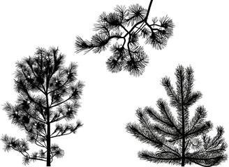 black cedar trees isolated on white
