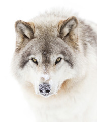 Timber wolf in winter closeup