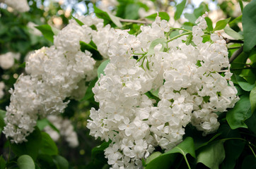 White lilac in spring