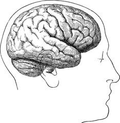 Vintage image human brain