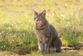 Blue tabby cat in shade in spring