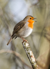 Red robin bird singing on the top of a tree branch during winter