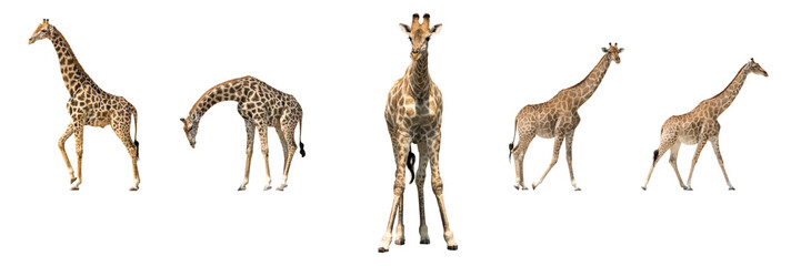Set of five african giraffes in different posings