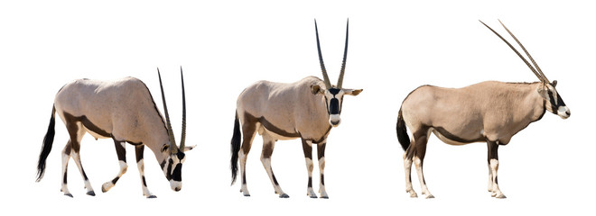Set of three gemsbok in different posing isolated on white backg