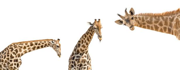 Set of three photos of upper half giraffe body isolated on white