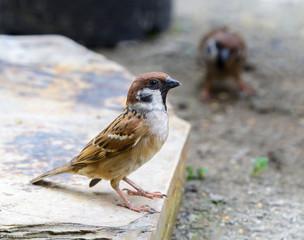 Eurasian Tree Sparrow(Passer montanus), Beautiful brown bird in garden,sparrow.
