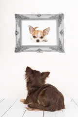 Cute chihuahua dog seen at the back lying down in a living room setting staring at a chihuahua dog picture in a baroque silver frame