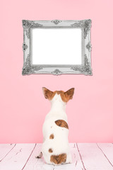 Cute chihuahua dog seen at the back sitting in a living room setting with a pink background staring at a empty silver baroque picture frame for text