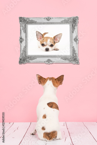 Cute sitting chihuahua dog seen at the back in a living room with ...