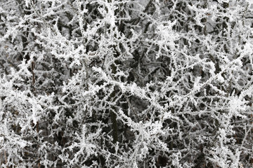 Tree branches on frost frozen.