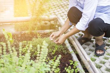 Woman harvesting herbal plants in herb garden