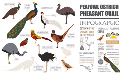 Poultry farming infographic template. Peafowl, ostrich, pheasant
