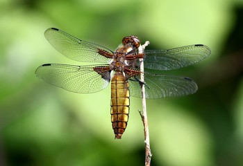 Female European Broad-bodied Chaser / Darter dragonfly (Libellula depressa)