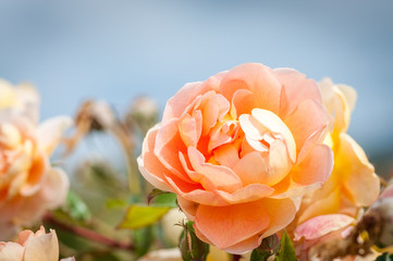 Orange rose and blue sky