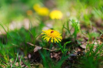 Dandelion with ladybird on it...